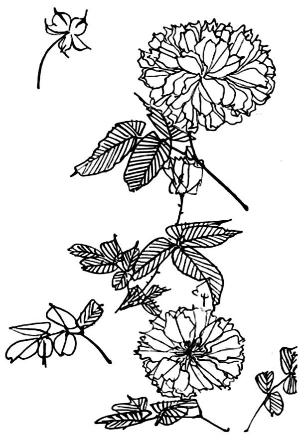 Chrysanthemum, : Awesome Picture of Chrysanthemum Coloring Page