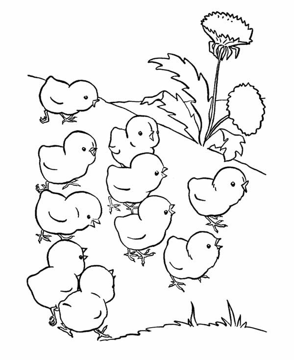 Chicken, : Baby Chicken Lose Their Mother Coloring Page