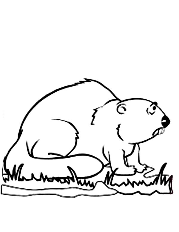 Beaver, : Beaver Looking for Food Coloring Page