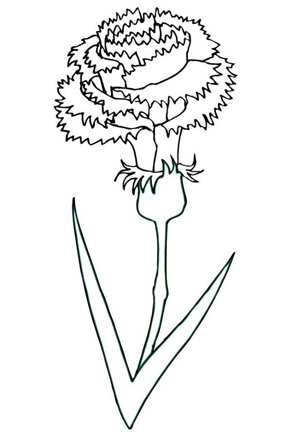 Carnation Flower, : Blooming Carnation Flower Coloring Page