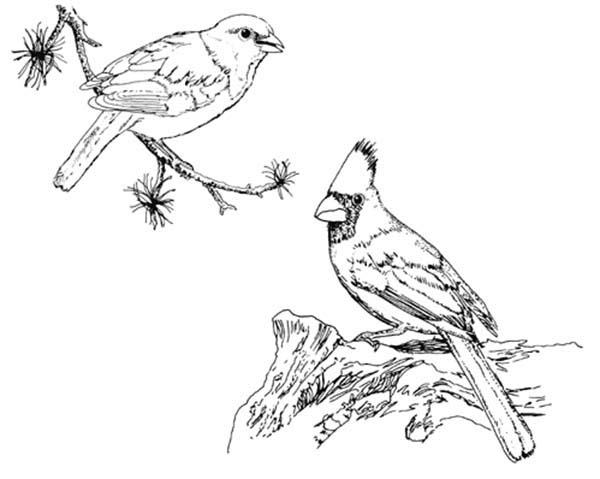 Cardinal Bird, : Cardinal Bird Couple Coloring Page