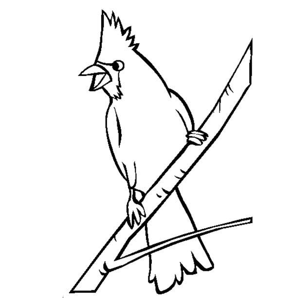 Cardinal Bird, : Cardinal Bird Looking for His Mate Coloring Page