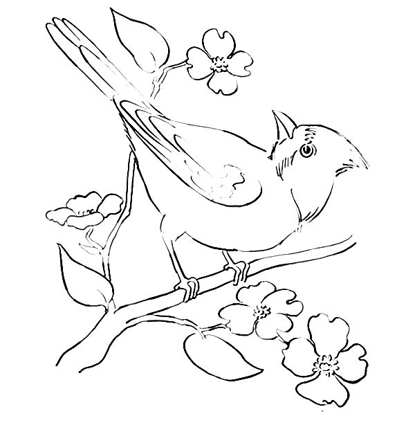 Cardinal Bird, : Cardinal Bird On a Blossom Branch Coloring Page