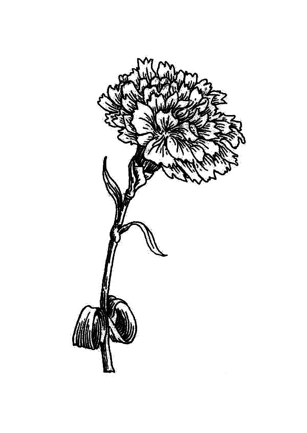 Carnation Flower, : Carnation Flower Coloring Page for Kids