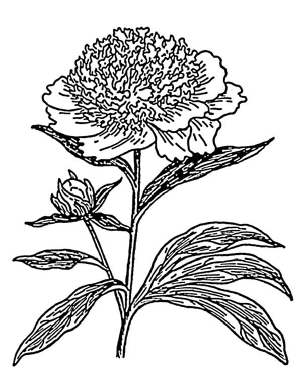 Carnation Flower, : Carnation Flower Photo Coloring Page