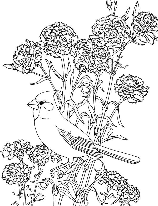 Carnation Flower, : Carnation Flower and Cardinal Bird Coloring Page