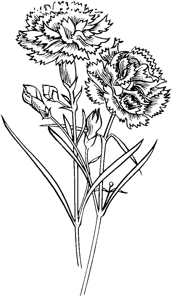 Carnation Flower, : Carnation Flower for Flower Arrangements Coloring Page