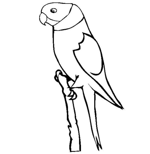 Parakeet, : Drawing a Parakeet Coloring Page