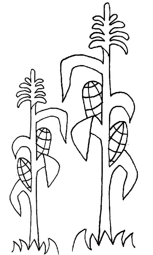 Corn, : Growing Corn Ears Coloring Page