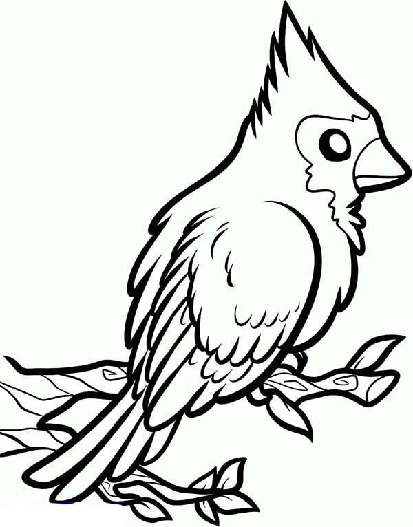Cardinal Bird, : How to Draw a Red Cardinal Bird Coloring Page