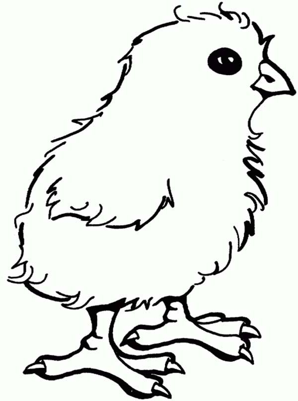Chicken, : Little Chicken Coloring Page for Kids