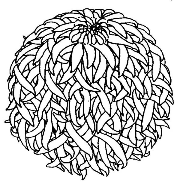 Chrysanthemum, : Lovely Picture of a Chrysanthemum Coloring Page