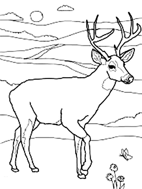 Deer, : North America Mule Deer Coloring Page