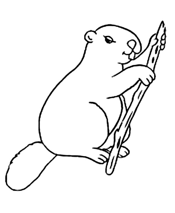 Beaver, : North American Beaver Coloring Page
