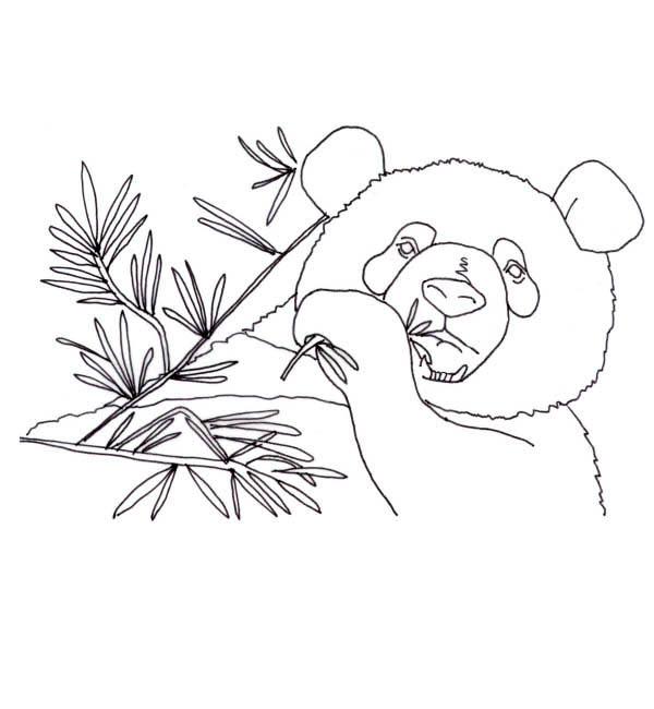 Panda, : Panda Eat a Lot of Bamboo Coloring Page