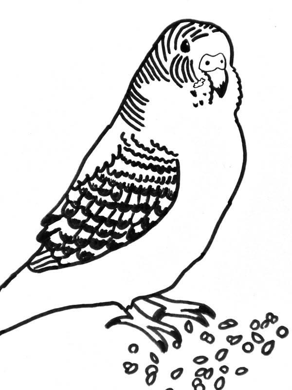 Parakeet, : Parakeet Eating Seed Coloring Page