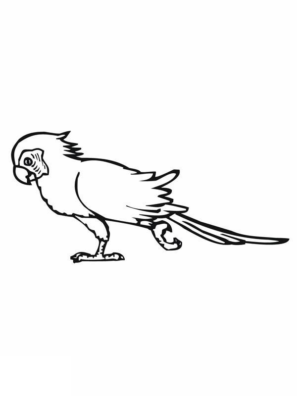 Parakeet, : Parakeet Walking Around Coloring Page