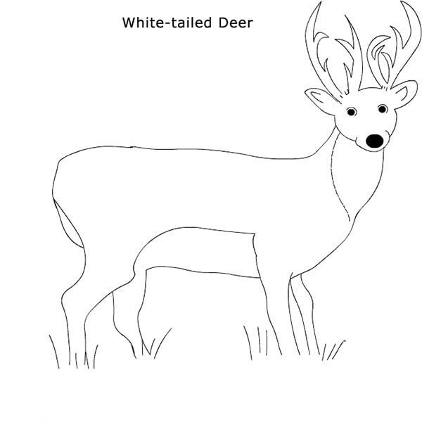 Deer, : Picture of White Tailed Deer Coloring Page
