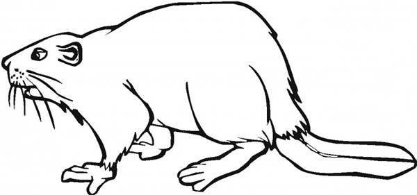 Beaver, : Picture of a Beaver Coloring Page