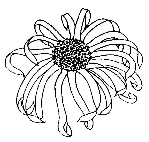 Chrysanthemum, : Realistic Picture of Chrysanthemum Coloring Page