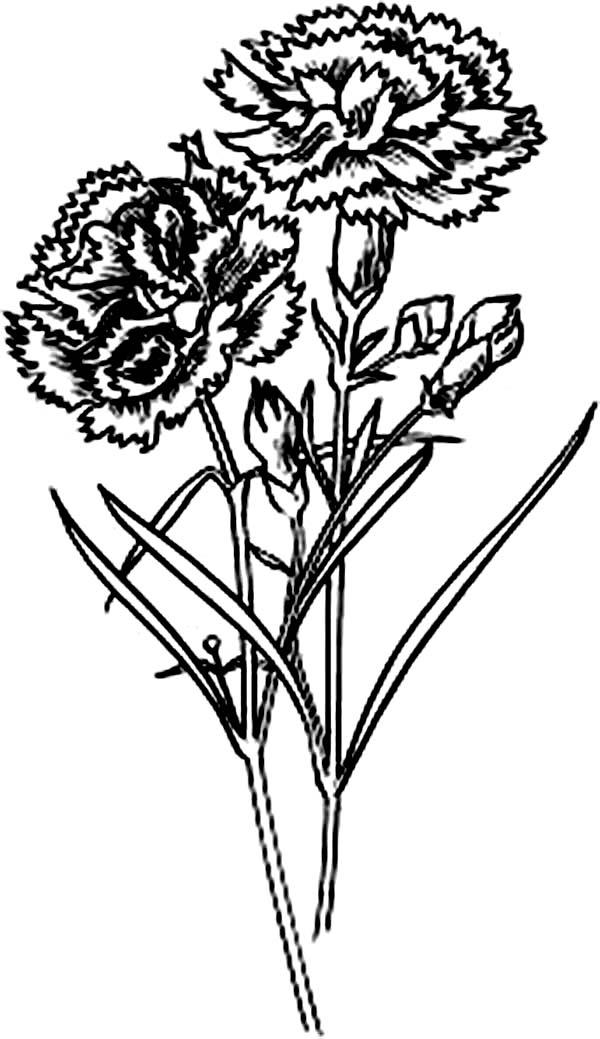 Carnation Flower, : Scarlet Carnation Flower Coloring Page