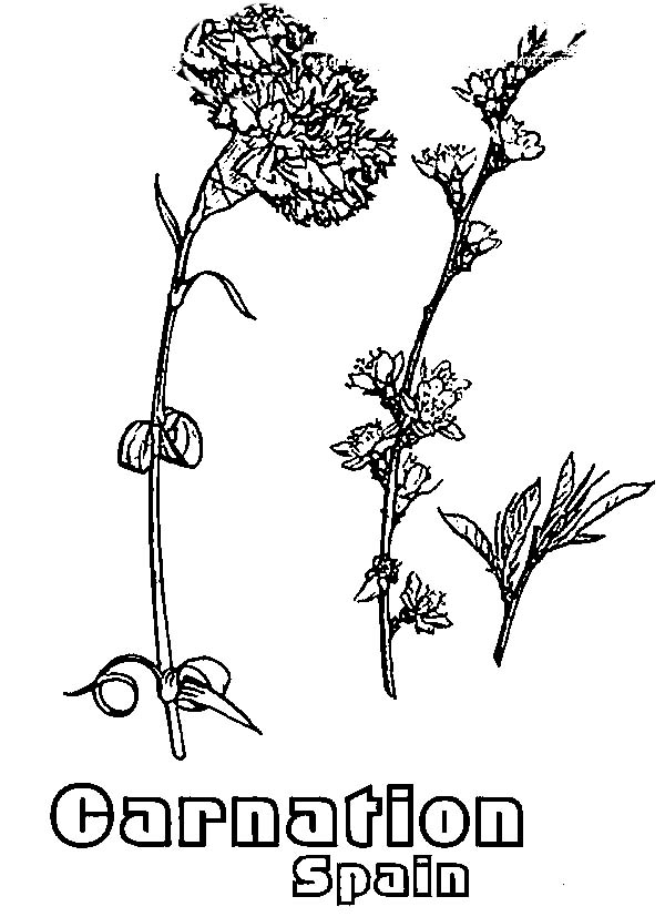 Carnation Flower, : Spain Carnation Flower Coloring Page