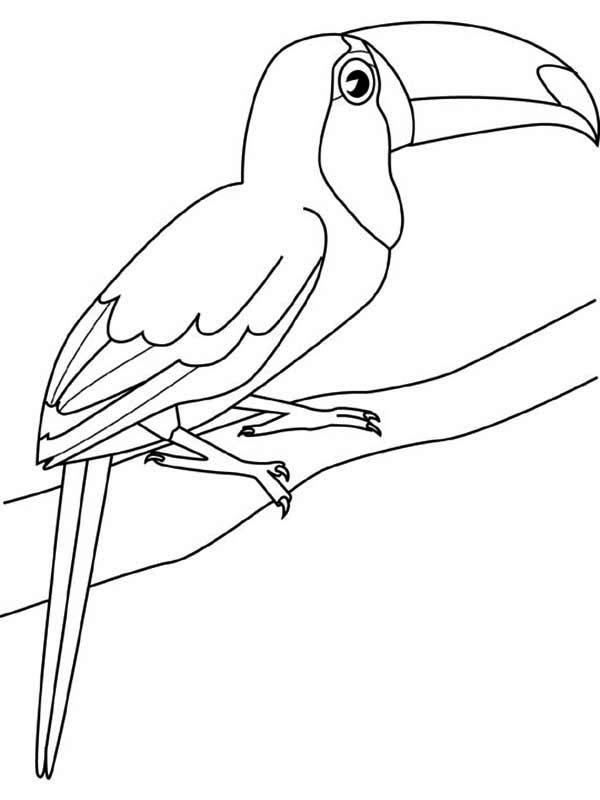 Toucan, : Toucan Sitting Coloring Page