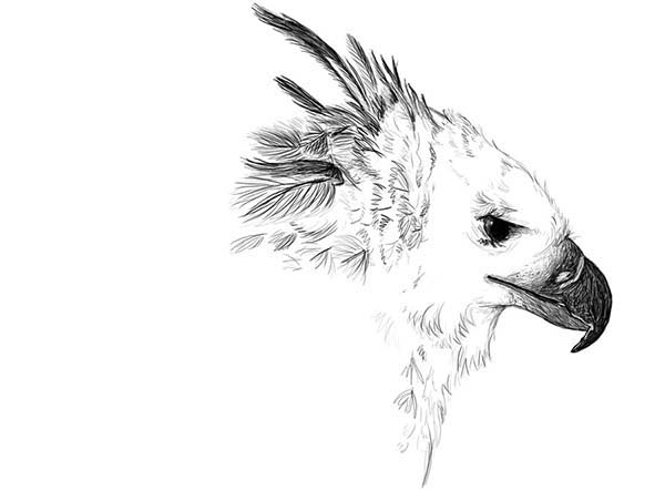 Harpy Eagle, : Beautiful Picture of Harpy Eagle Coloring Pages