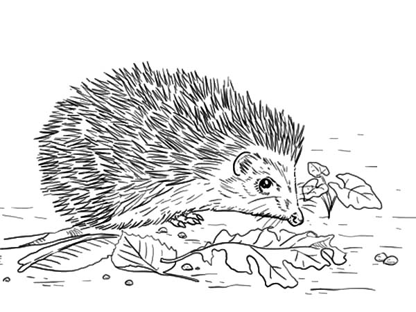 Hedgehog, : East European Hedgehog Coloring Pages