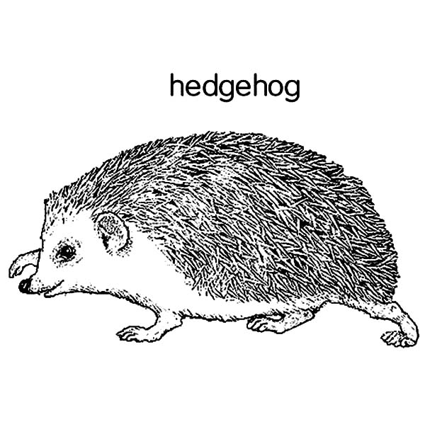 Hedgehog, : H is for Hedgehog Coloring Pages
