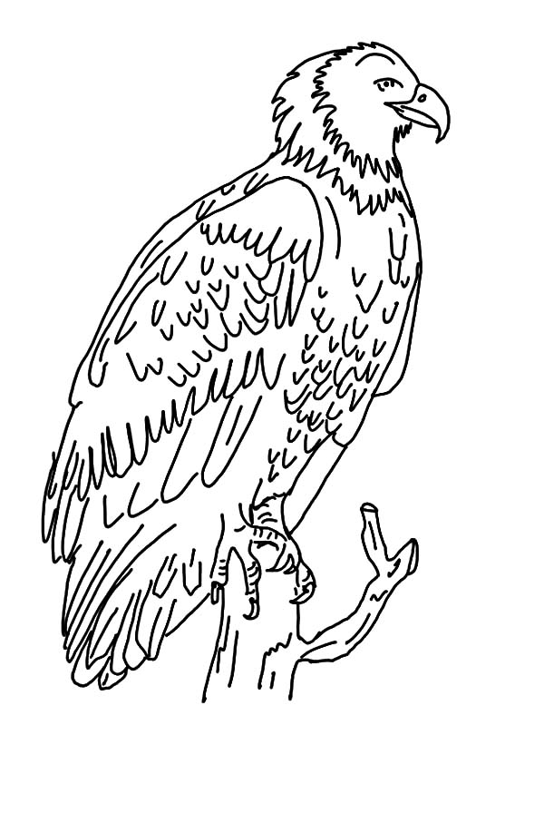 Harpy Eagle, : Harpy Eagle Coloring Pages for Kids