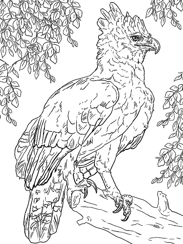 Harpy Eagle, : Harpy Eagle Perched on a Branch Coloring Page