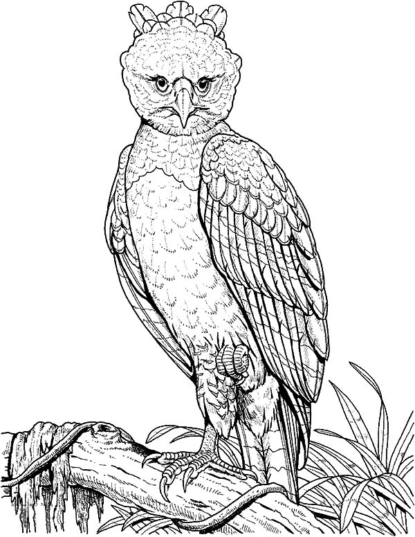 Harpy Eagle, : Harpy Eagle Perched on a Branch Coloring Pages