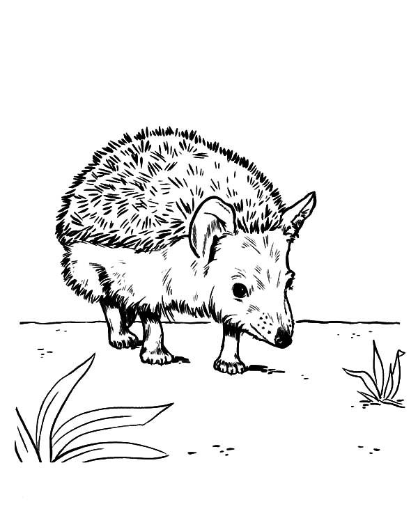 Hedgehog, : Hedgehog Walking Around Coloring Pages