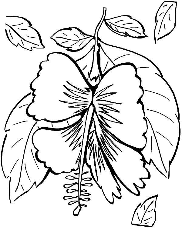 Hawaii, : Hibiscus of Hawaii Coloring Pages