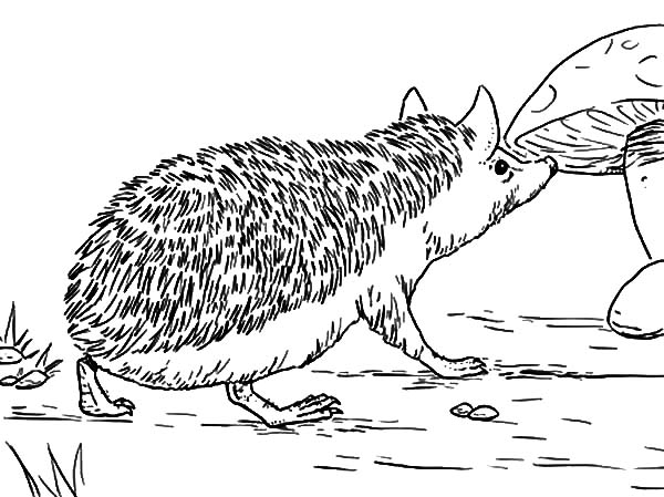Hedgehog, : Long Eared Hedgehog Coloring Pages