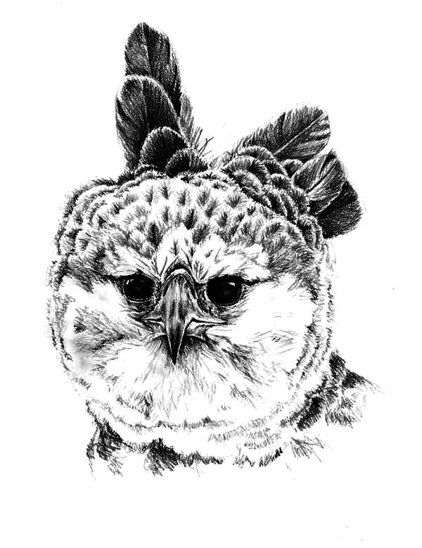 harpy eagle drawing harpy eagle coloring pages drawing harpy eagle ...