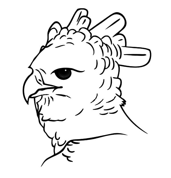 Harpy Eagle, Potrait of Harpy Eagle Head Coloring Pages: Potrait Of Harpy Eagle Head