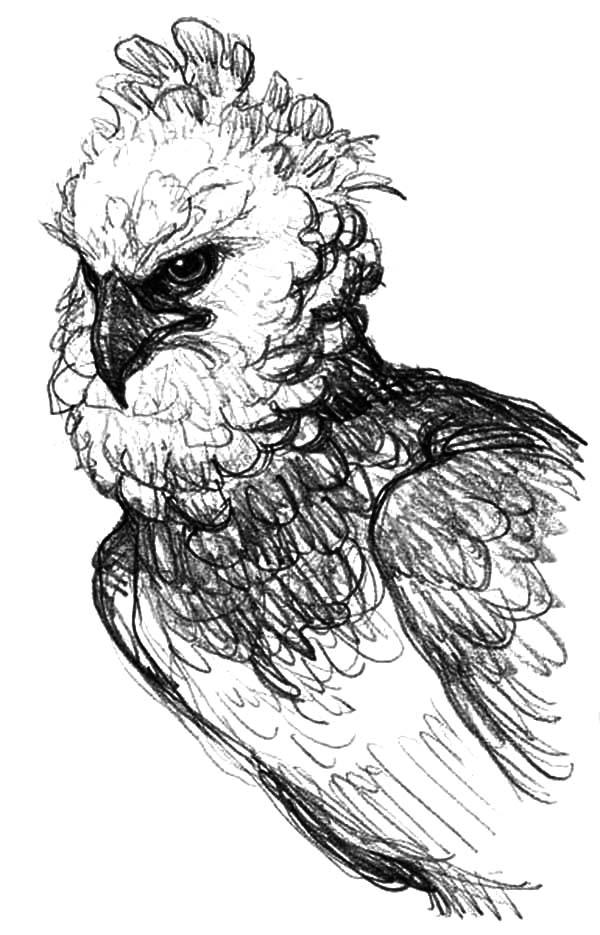 Harpy Eagle, : Realistic Picture of Harpy Eagle Coloring Pages