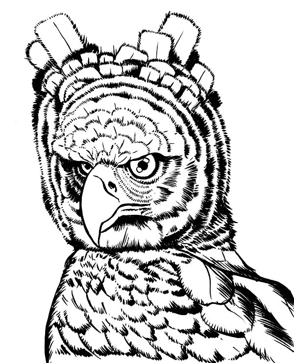 Harpy Eagle, : Tropical Rainforests Harpy Eagle Coloring Pages