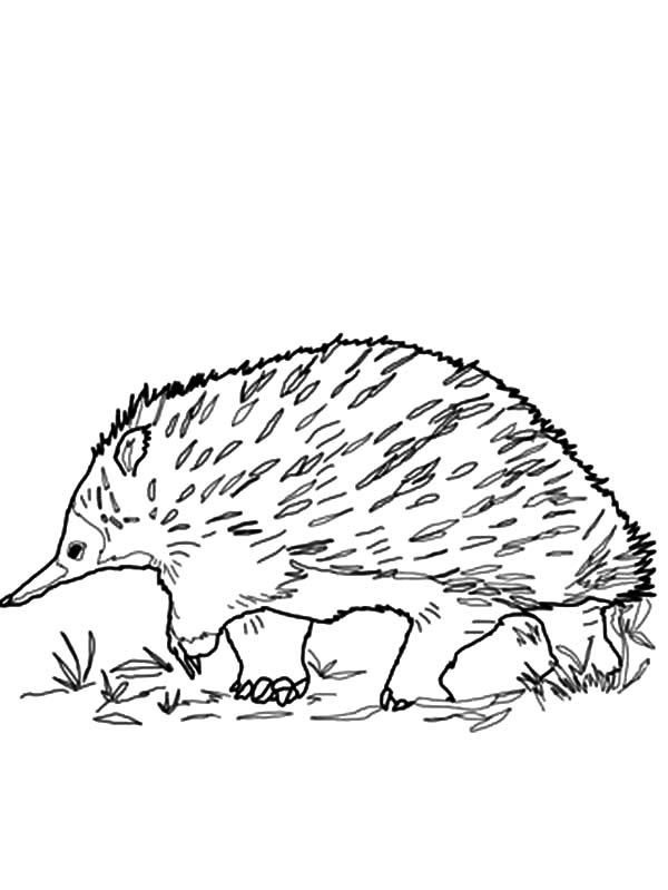 Hedgehog, : walking-echidna-coloring-page
