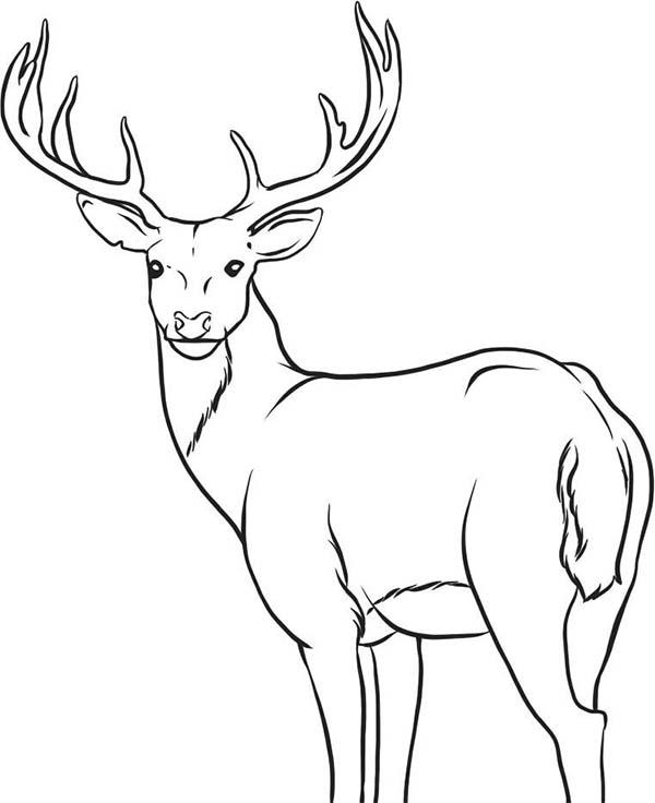 Deer, : Alpha Male Deer Coloring Page