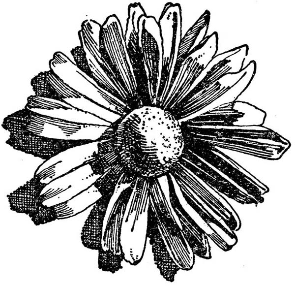 Chrysanthemum, : Amazing Drawing of Chrysanthemum Coloring Page