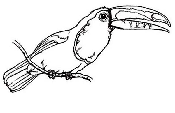 Toucan, : Awesome Bird Toucan Coloring Page