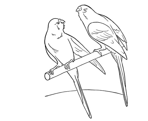 Parakeet, : Awesome Drawing Parakeet Coloring Page