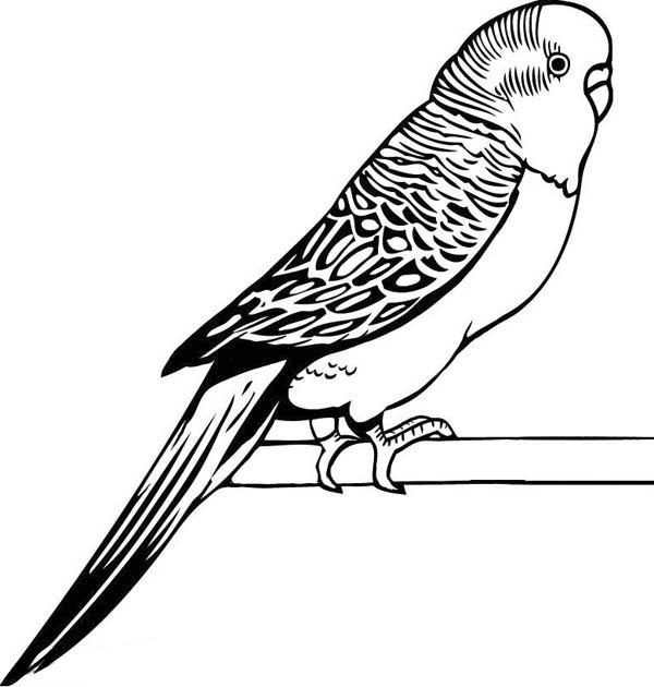 Parakeet, : Awesome Drawing of Parakeet Coloring Page