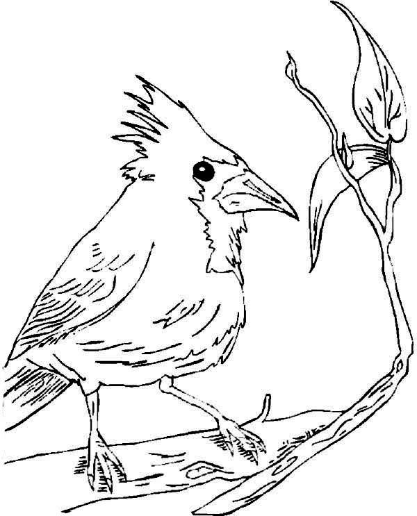 Cardinal Bird, : Beautiful Cardinal Bird Coloring Page