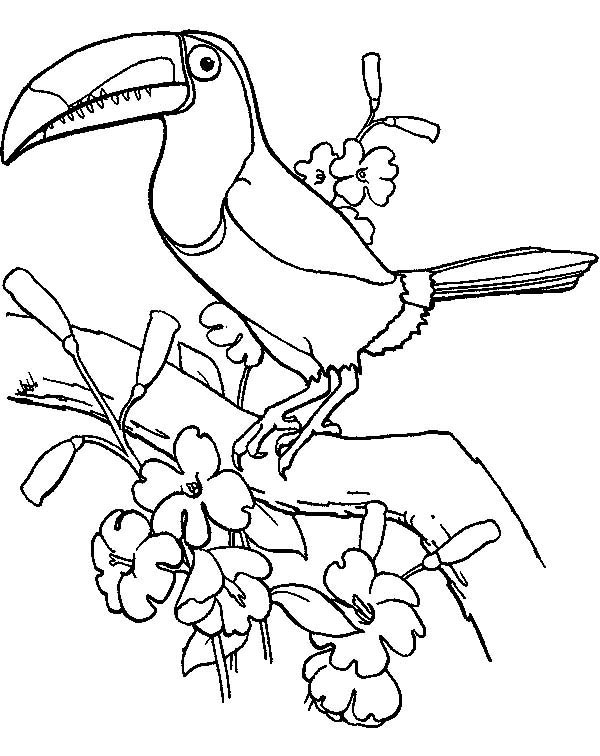 Toucan, : Beautiful Toucan Bird Coloring Page