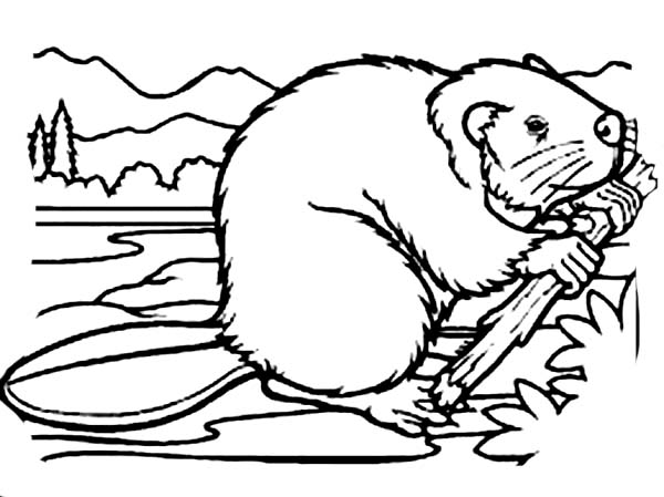 Beaver, : Beaver Powerful Front Teeth Coloring Page