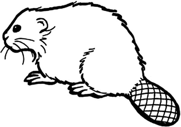 Beaver, : Beaver Species Coloring Page